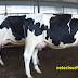 Holstein inek Fiyatları