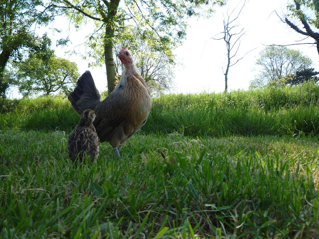 Organic Hen and quail chick free-ranging