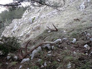 Corna di Cervo