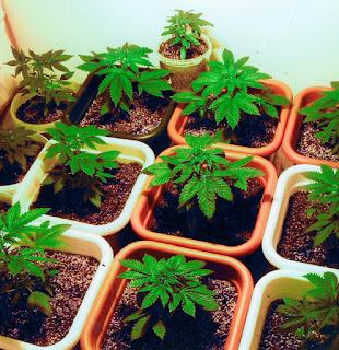 Riego en el cultivo de marihuana