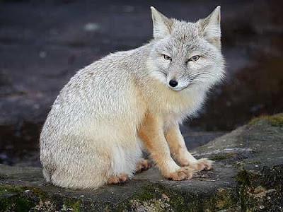 Rubah Korsak (Corsak Fox/Steppe Fox), Hewan Rubah, Spesies Hewan Rubah, Tentang Hewan Rubah, Memelihara Hewan Rubah,