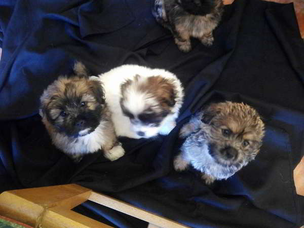 cachorros cruce lhasa apso