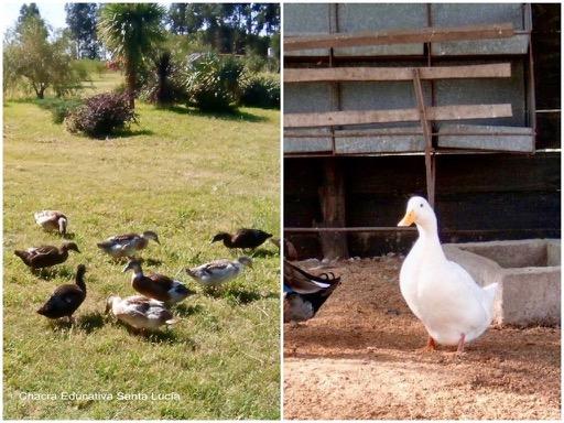 Patos domésticos alimentándose en el pasto y junto a la batea del corral  - Chacra Educativa Santa Lucía
