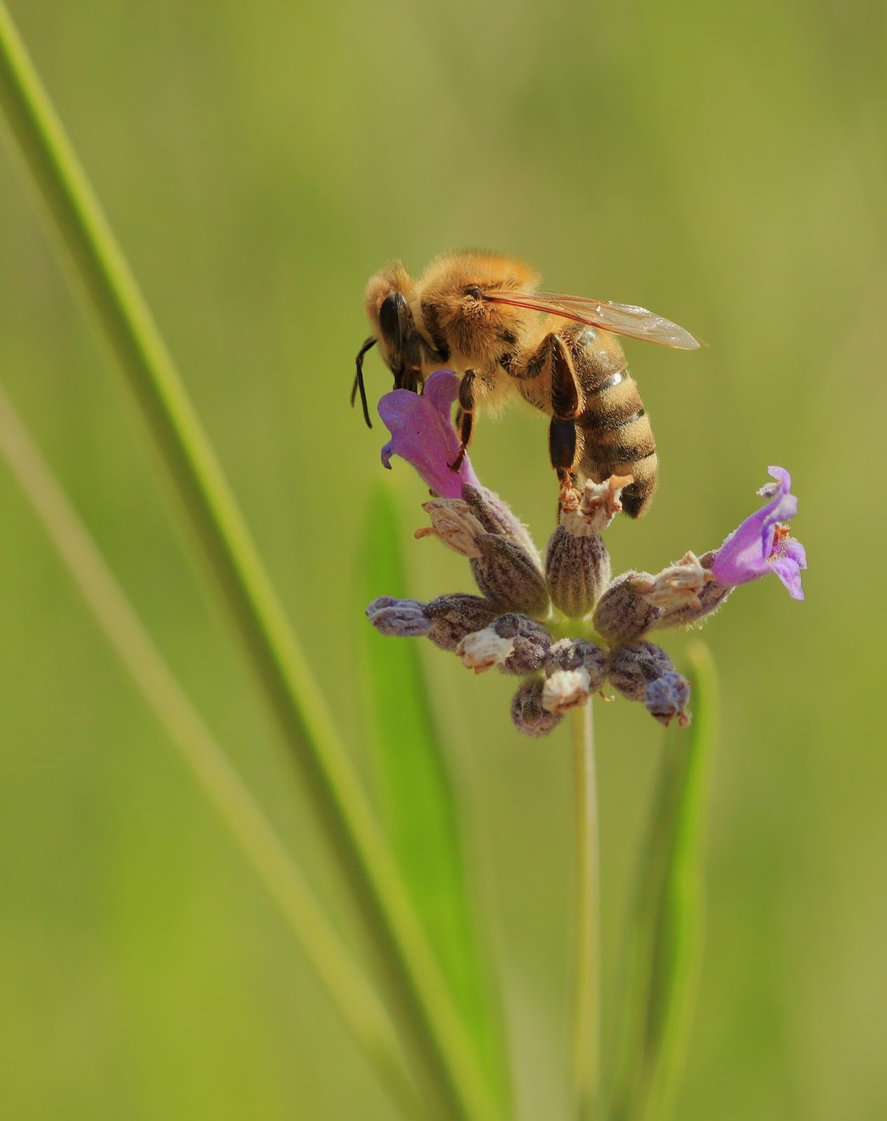 Insects: Bee on Lavender Blossom 2