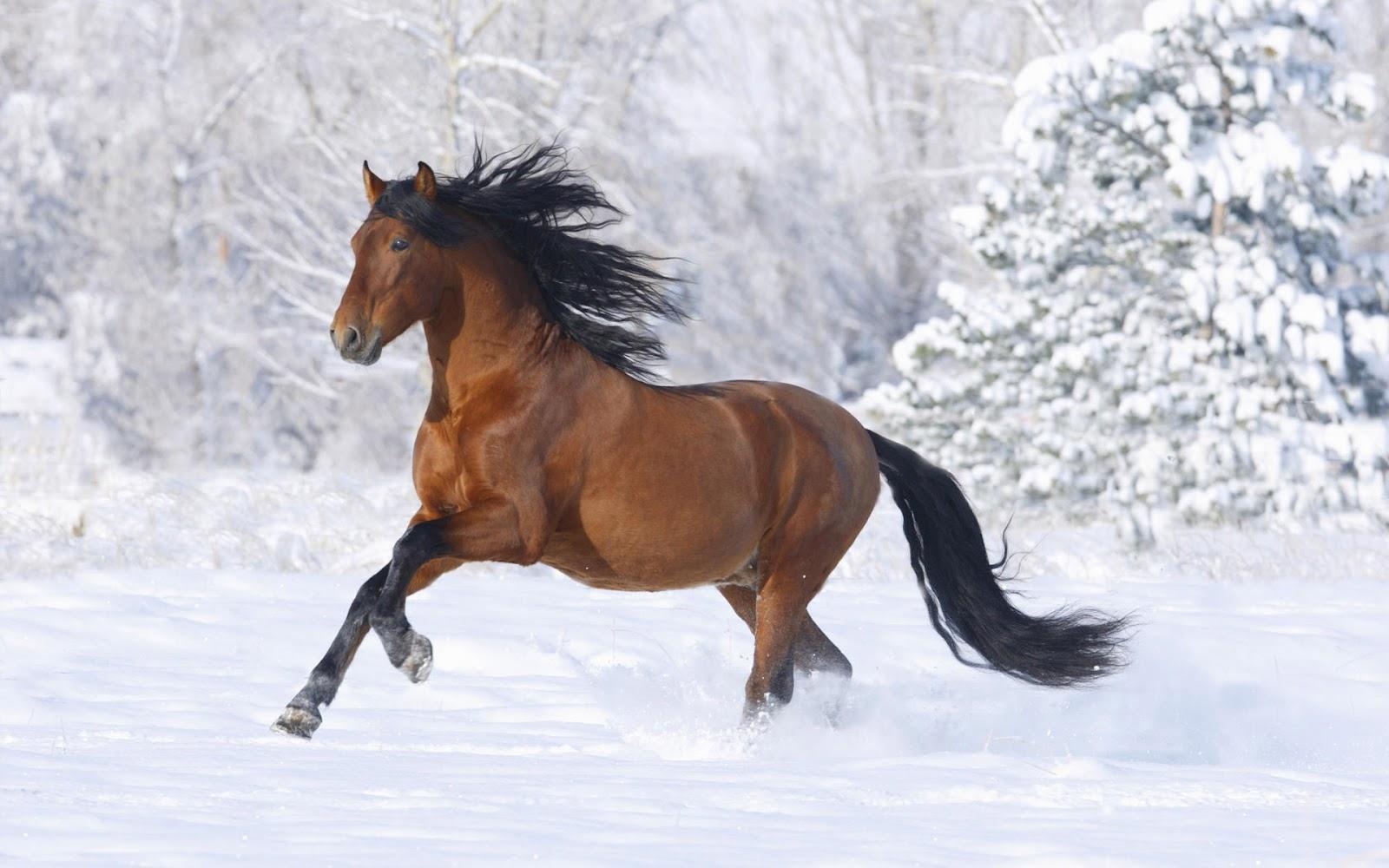 HD Classic Wallpapers: horses wallpaper