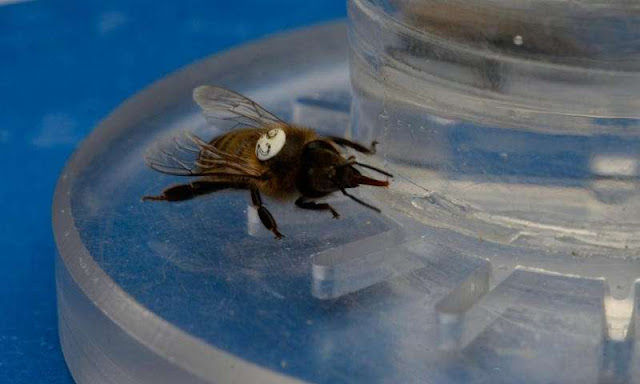 Buzzing bees can't resist caffeinated nectar