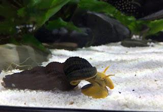 keong hias rabbit snail untuk aquascape