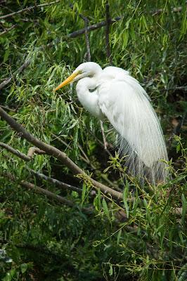 Great Egret, Smith Oaks Rookery