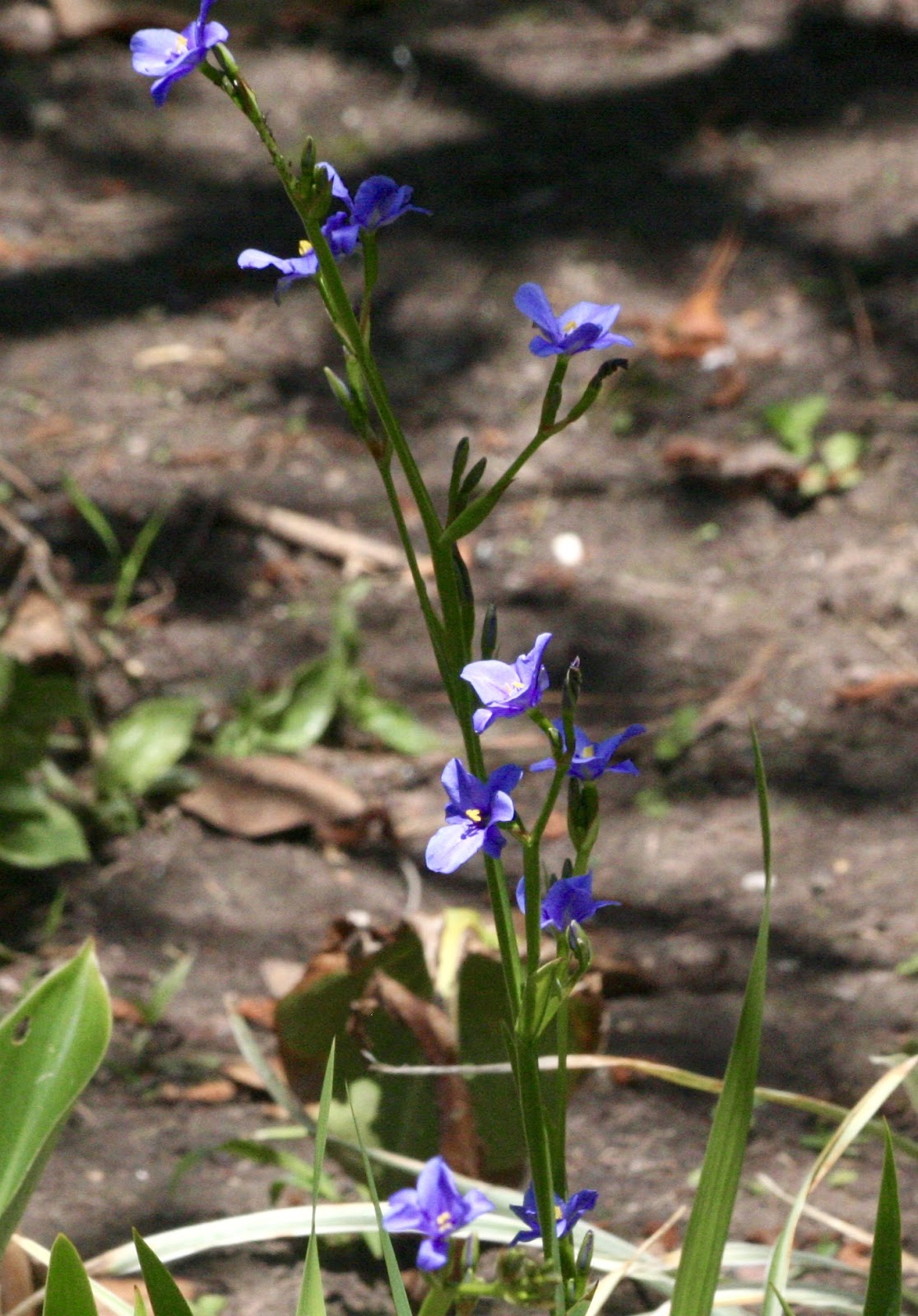 the nature of things backyard nature wednesday blue eyed grass
