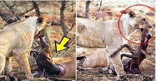 Menyentuh Hati, Ketika Mengetahui Mangsanya Hamil Singa Ini Melakukan Hal yang Mengejutkan!!