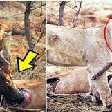 """""""Menyentuh Hati"""" Ketika Mengetahui Mangsanya Hamil Singa Ini Melakukan Halbyang Mengejutkan!!"""
