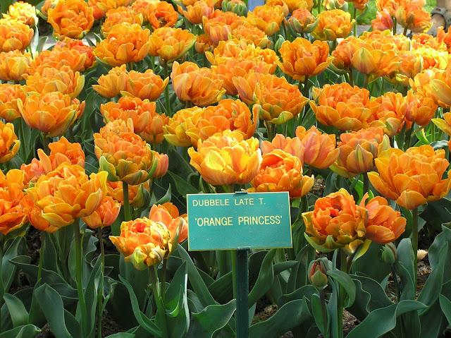 pełny, pomarańczowy tulipan