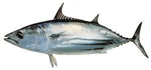 Kandungan Gizi Dari Ikan Cakalang