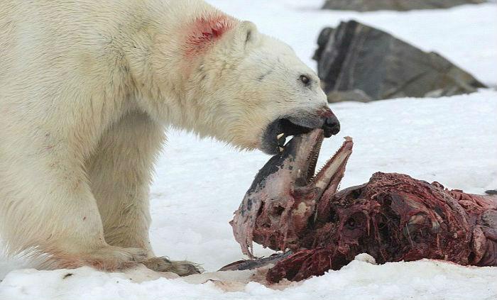Νορβηγοί επιστήμονες καταγράφουν πολικές αρκούδες να τρώνε δελφίνια στην Αρκτική