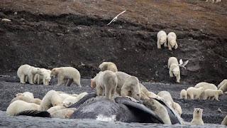 Casi 600 osos polares se acumulan en una isla rusa por falta de hielo en el Ártico.