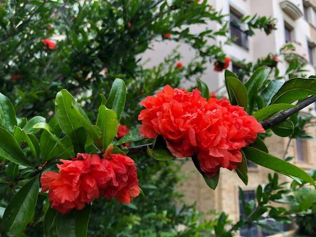Flor da Romanzeira