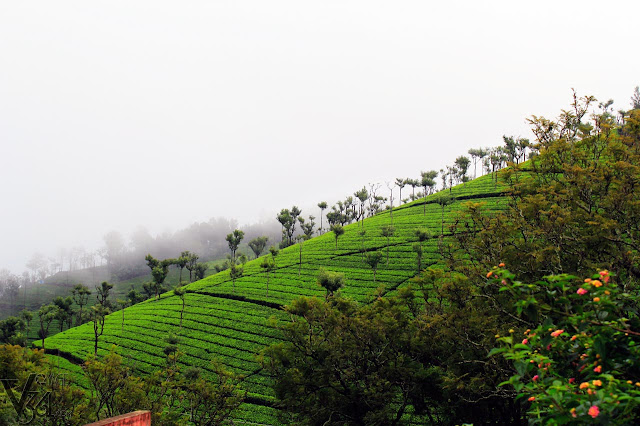 Tea estate Slopes near Ellithorai