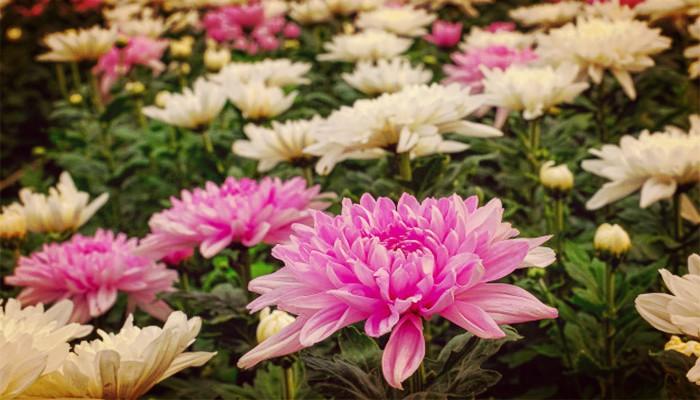 Plantas crisantemos