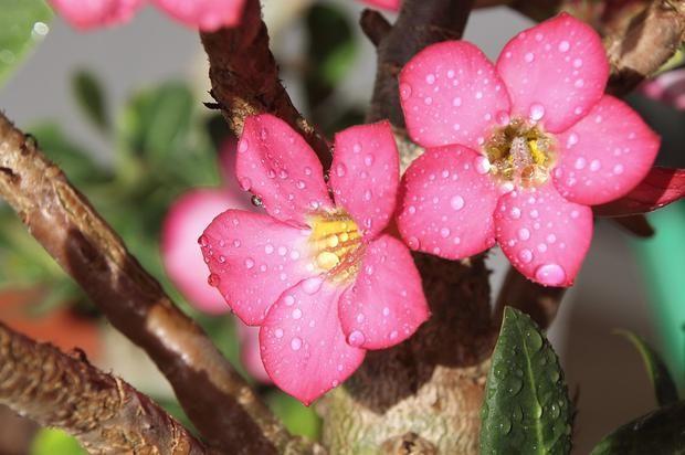 Rosas do deserto tem exposição em Natal