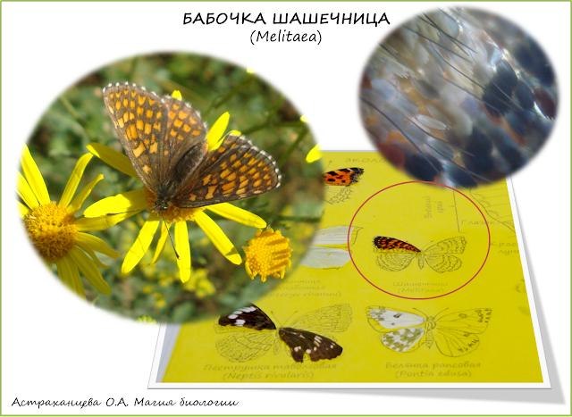 бабочка-шашечница-крыло-под-микроскопом-коллекция