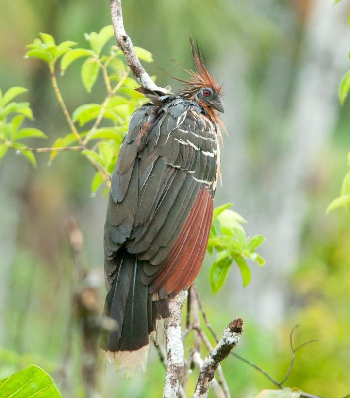 Picture of a Hoatzin bird from behind on a tree.