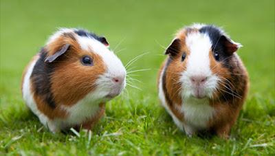 Guinea Pig health tips