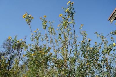 Exemplares de margaridões-amarelos do meu quintal, no Jaraguá.
