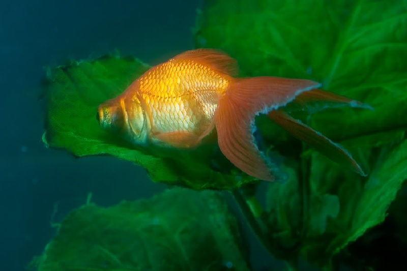 Gambar Ciri Ciri Ikan Hias sakit Atau Stres-Ikan Koki