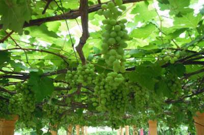 Tutorial Teknis Budidaya Anggur (Vitis vinivera) Untuk Pemula