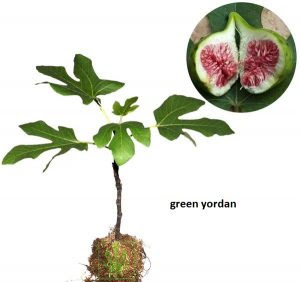 buah-tin-green-yordan.jpg