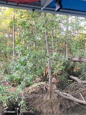 mangrove forest, Costa Rica