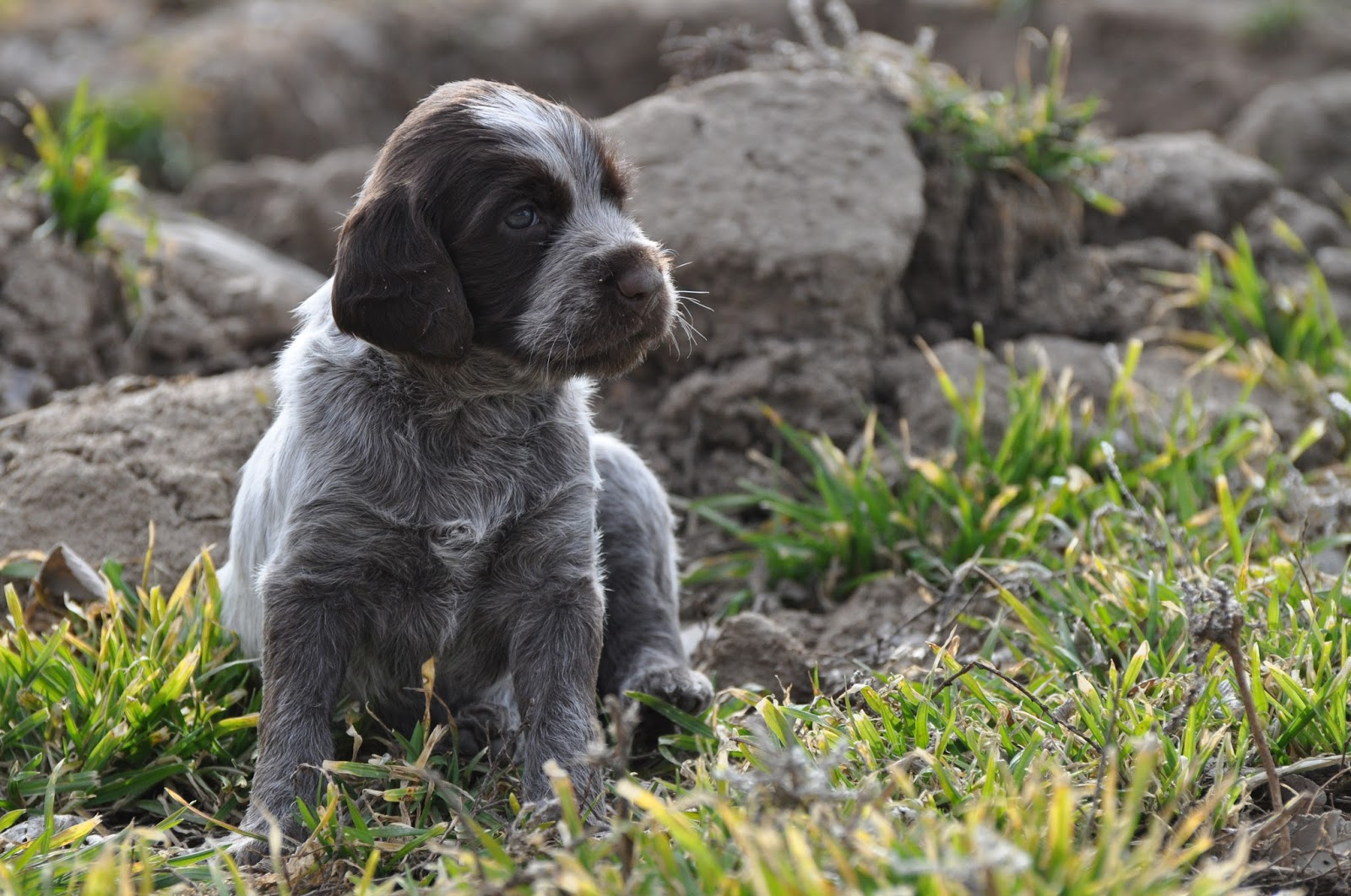Idaho Outback Wire Haired Pointing Griffons, Puppies soon! : Boys