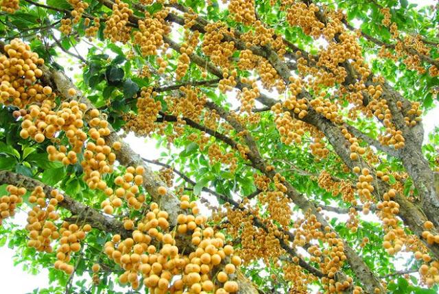 Một góc của cây dâu - Cà Mau