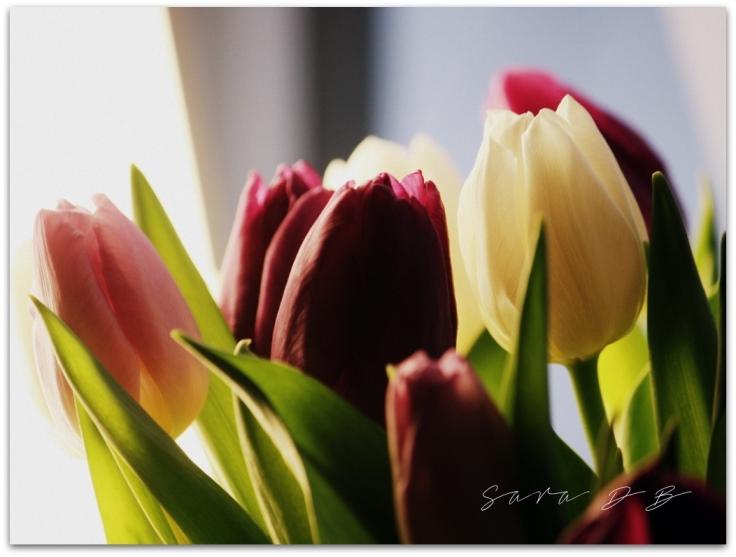 tulips tulppaanni Tulipa