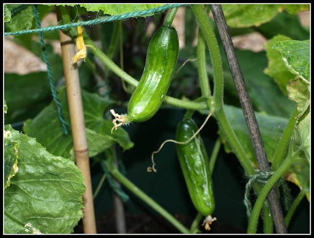 mature cucumber crop