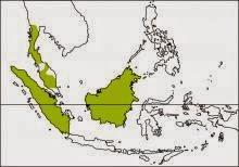 white crowned hornbill Berenicornis comatus