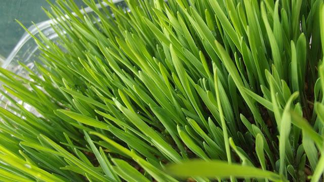 Herbal, nutrition, wheatgrass, wheatgrass benefits, wheatgrass juice, wheatgrass nutrition, wheatgrass uses,