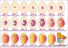 مشروع الفقاسات مراحل تطور الكتكوت داخل البيضه