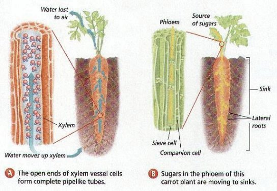 #59 Transport in plants - functions of xylem and phloem ...