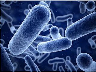 Identifikasi Bakteri Staphylococcus Aureus Pada Reputum Dan Vagina Kuda (Equus Caballus)