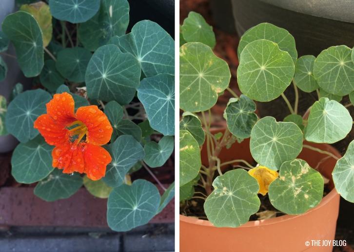 How to Grow Nasturtium // WWW.THEJOYBLOG.NET