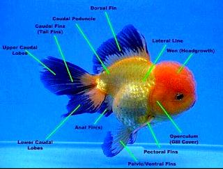 Gambar jambul ikan mas koki oranda