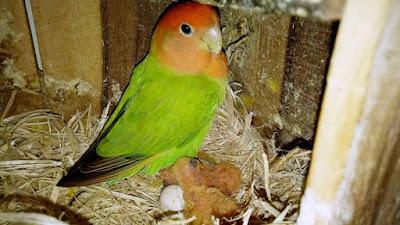 Buat anggota boleh bertanya secara rapih di kolom komentar Isi Kandang untuk Ternak Lovebird ala Junot LB