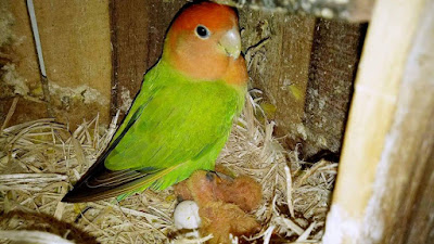 Isi Kandang untuk Ternak Lovebird