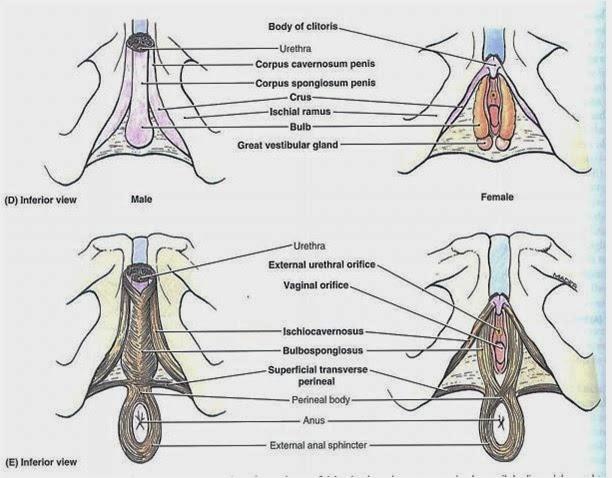 dr nilesh anatomy perineum diagram perineum diagram