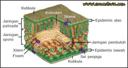 Fungsi Daun, Struktur Daun, Fungsi Daun untuk Fotosintesis, Jaringan Epidermis, Jaringan Mesofil, Jaringan Pembuluh.