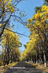 Menikmati Keindahan Pohon Sakura Di Jalanan Desa Pendem, Kota Batu