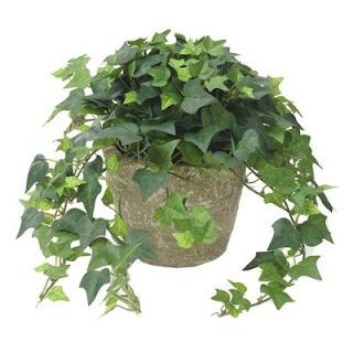 Tanaman Hias English Ivy atau Hedera Helix
