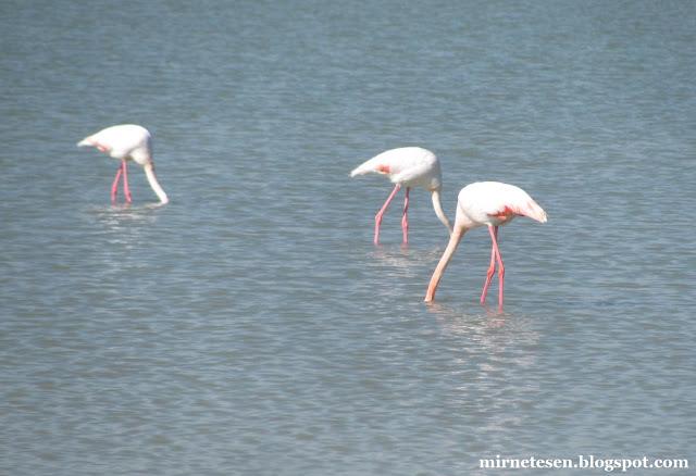 Солёное озеро в Ларнаке - фламинго