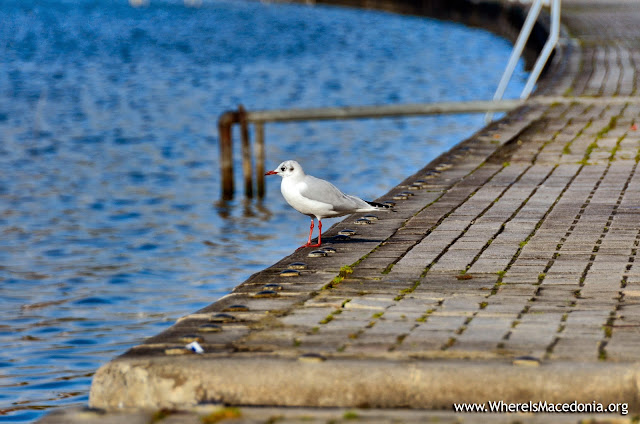 Gull - Ohrid Lake, Macedonia